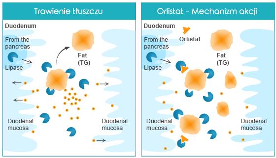 Xenical-Orlistat---Mechanizm-akcji